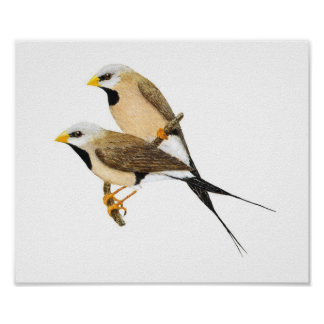 Long-tailed Finch Pair - Poephila acuticauda Poster