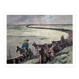 Longhorn cattle drive from Texas to Abilene, Kansa Postcard