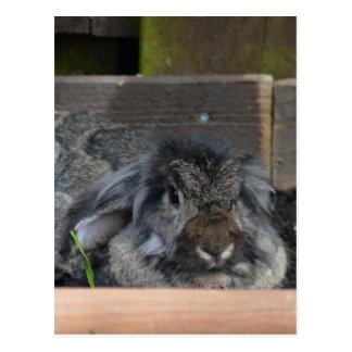 Lop eared rabbit postcard