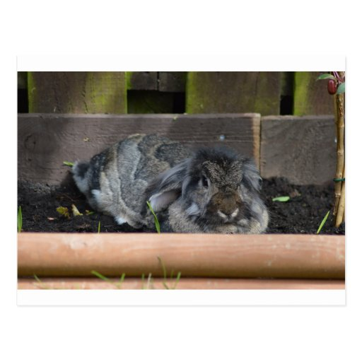 Lop eared rabbit post cards