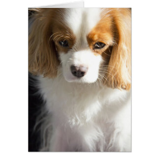 Lost In Thought Cavalier King Charles Spaniel Card