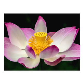 lotus_7830.jpg photo