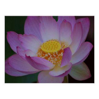 Lotus flower for Mother's Day Poster