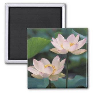 Lotus flower in blossom, China Square Magnet