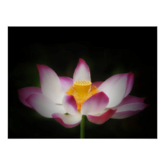 Lotus Flower Photography Great Yoga Om Gift! Poster
