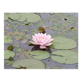 Lotus Flower Soft Pink Floral Pond Zen Postcard