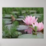 Lotus Flower/Waterlily Poster