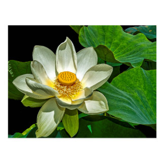 Lotus Flowering. Postcard