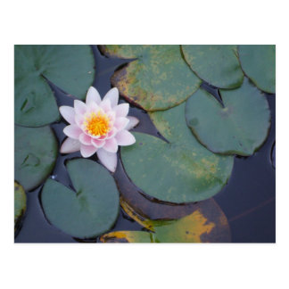 Lotus Flowers Postcard