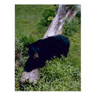 Louisiana Black Bear Postcard