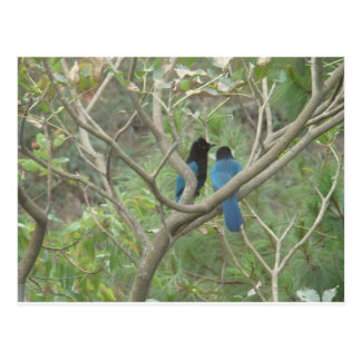 Love BIrdy Style, Tropical Black-Blue Jay Post Card