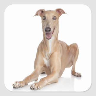 Love Happy Greyhound Tan And White Puppy Dog Square Sticker