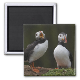 Love Song Puffins Magnet
