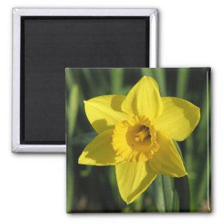 Lovely Daffodil Square Magnet