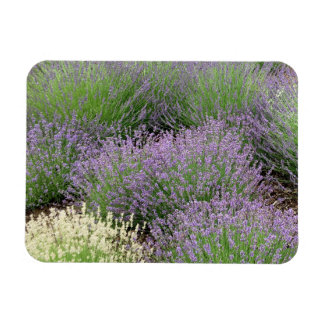 Lovely Lavender Rectangular Photo Magnet