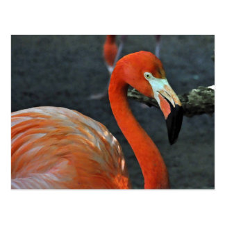 Lovely Pink Flamingo Photograph Postcard