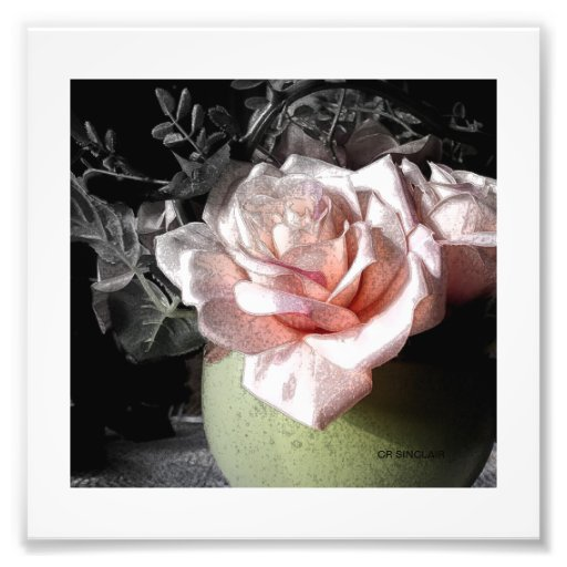 LOVELY PINK ROSE by CR SINCLAIR Photo