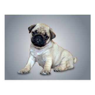 Lovely Pug Postcard