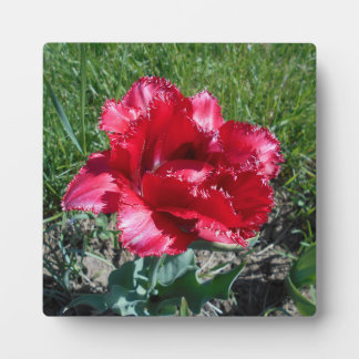 Lovely Red Tulip Plaque