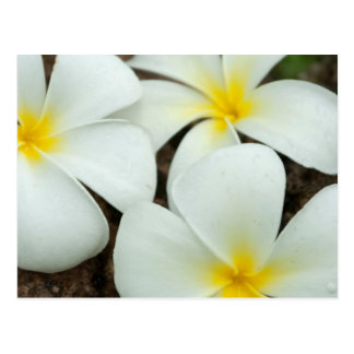 Lovely Tropical Blossoms In The South Pacific Postcard