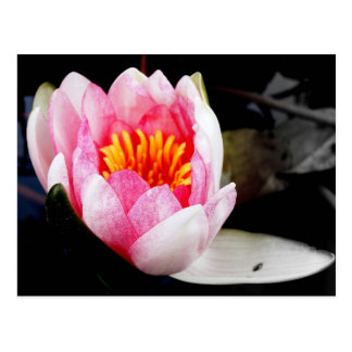 Lovely Water Lily Postcard