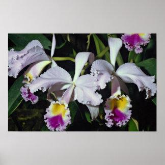 LovelyOrchid, cattleya-hybrid, cattleya (trianae x Poster