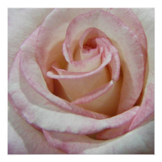 Love's First Blush Rose Poster