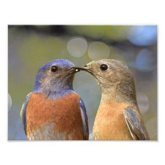 Loving Bluebirds Photo Print