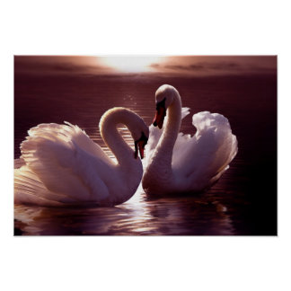Loving Swans Forming a Heart Poster