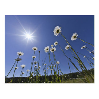 Low angle view of daisy flowers and sunburst postcard