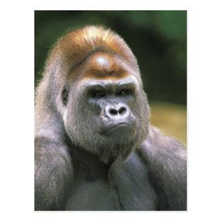 Lowland gorilla. Gorilla Gorilla. Postcard