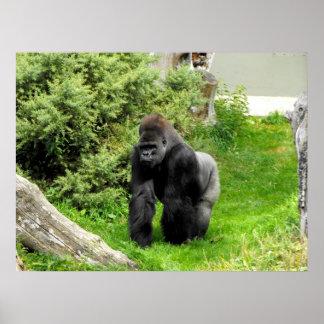 Lowland silverback male gorilla knuckle walking poster