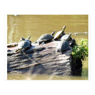 LSU Turtles.JPG Postcard