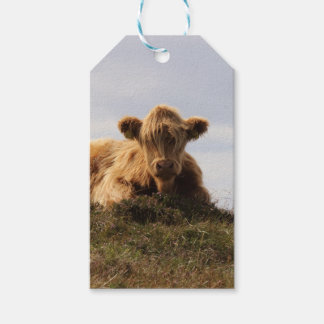 Luing cow on the Isle of Islay, Scotland Gift Tags