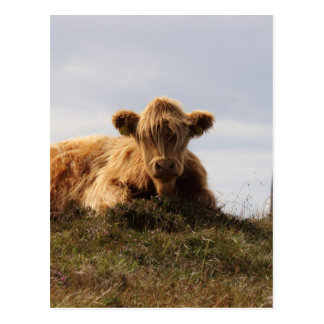 Luing cow on the Isle of Islay, Scotland Postcard