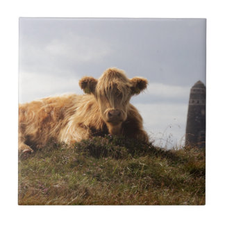 Luing cow on the Isle of Islay, Scotland Tile