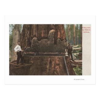 Lumberjacks Cutting Down a Redwood Tree Postcard
