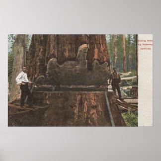 Lumberjacks Cutting Down a Redwood Tree Poster