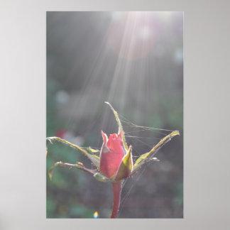 Lumière du soleil de toiles d'araignée et rose poster
