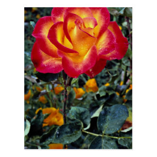 Luminous red and yellow rose with raindrops postcard