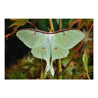 Luna Moth 19x16 large Print Photo