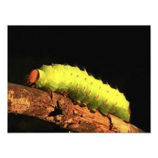Luna Moth Caterpillar Photo Art