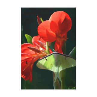 Luna Moth on Canna Flower Canvas Print