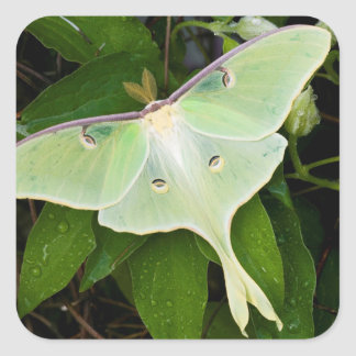 Luna Moth on Carnaby Clematis Square Sticker