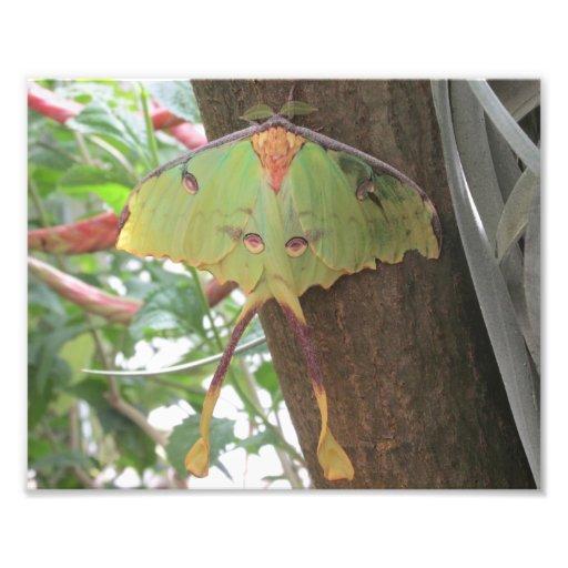 Luna Moth Photographic Print