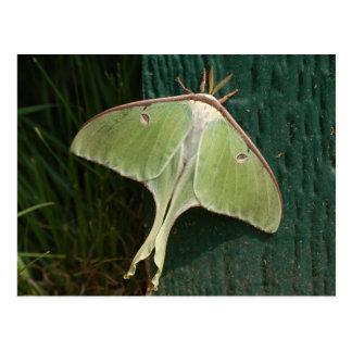 Luna Moth Postcard. Postcard
