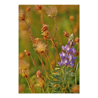 Lupine & Prairie Smoke wildflowers in Montana Poster