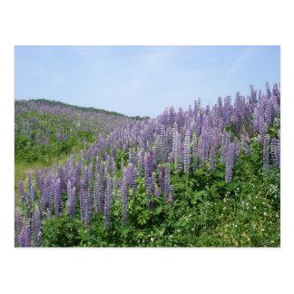 Lupine Valley Postcard