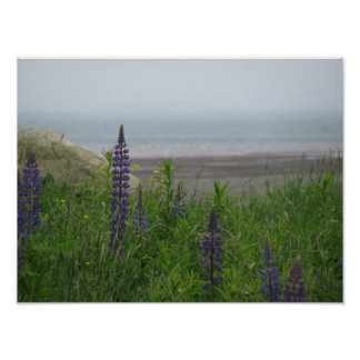 Lupins Overlooking Bay Of Fundy Poster Print