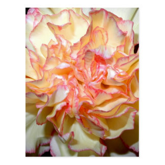 Lush and Gorgeous Pink and White Carnation Postcard
